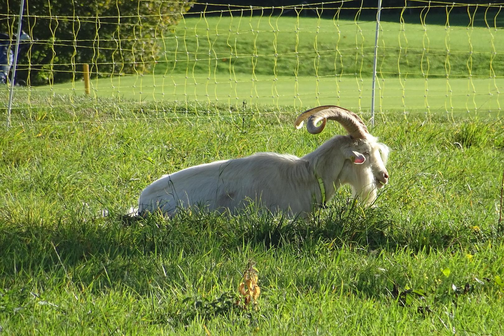 Un bouc bien cornu encadre les chèvres chargées de la tonte des hors-limites