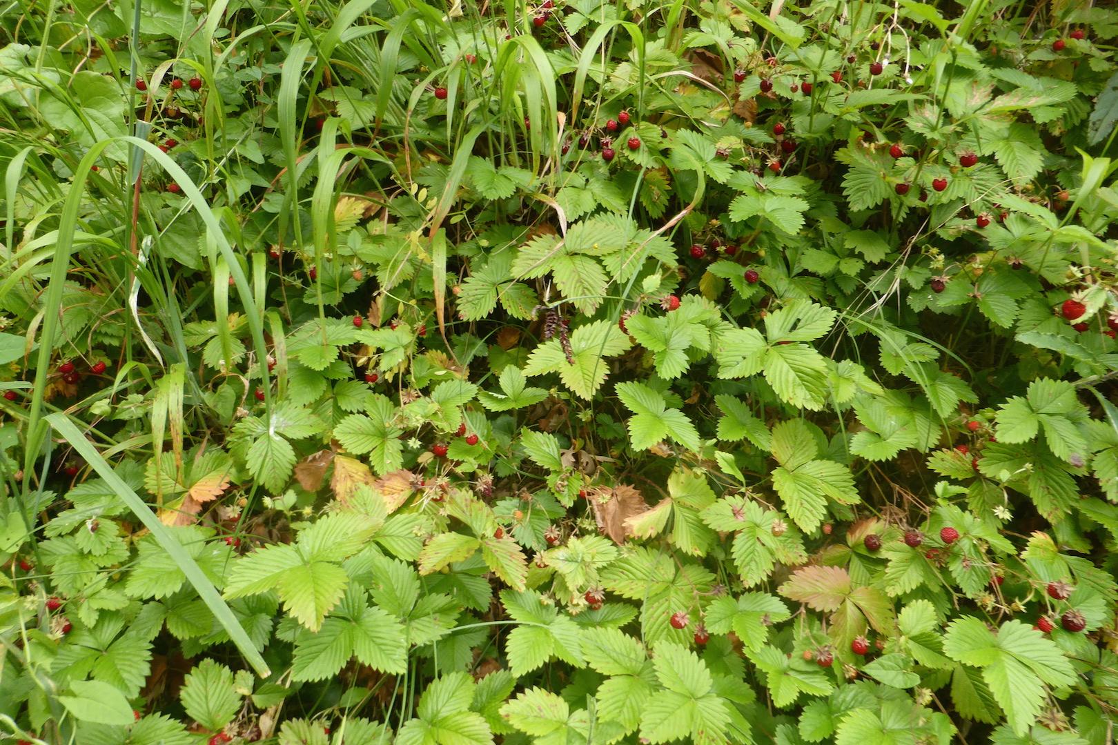 Le gisement de fraises des bois dans la descente du n°14